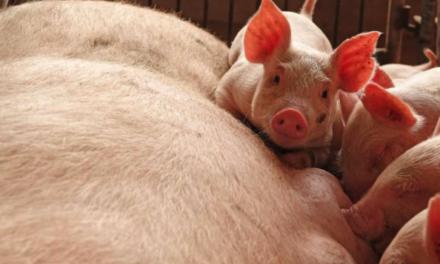 Shqipëria, në rrezik për përhapjen e gripit të derrit