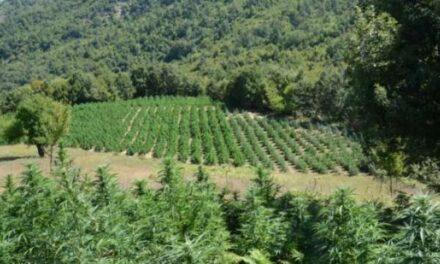 10 zonat ku po kultivohet kanabis në Shqipëri