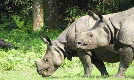 Si ndikoi pandemia që numri i rinocerontëve të rritet në nivele rekord?