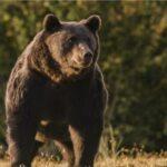 Nisin hetimet për princin që vrau ariun më të madh të Rumanisë